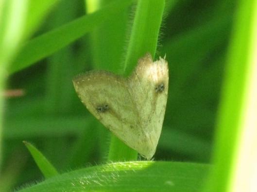 005Micro Moth (640x480)