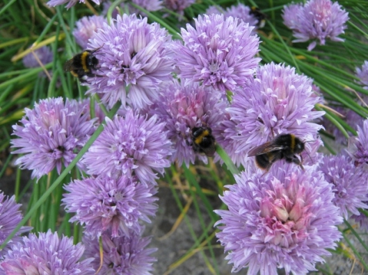 008Bees on chive flowers (640x480)