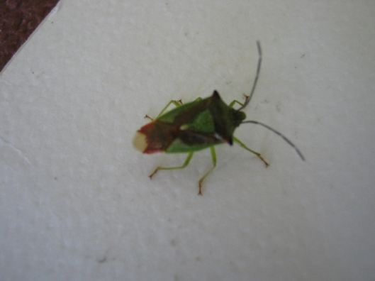 008Hawthorn Shield Bug (640x480)
