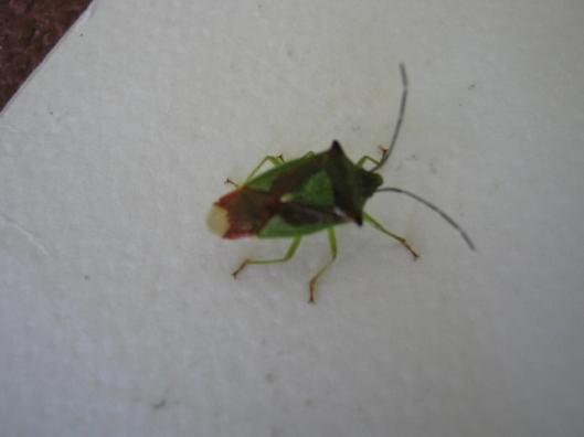 008Hawthorn Shield Bug (640x480)