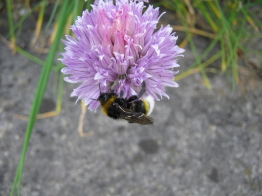 009Cuckoo bee Psithyrus vestalis on chive flower (640x480)