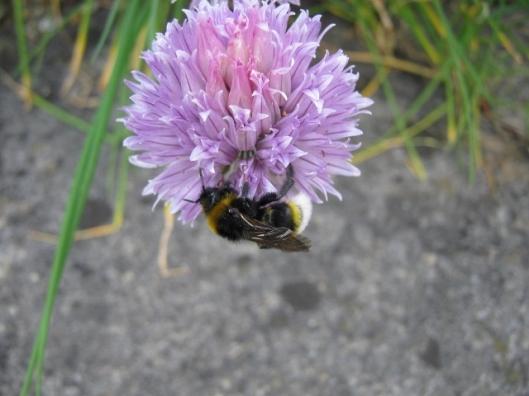 009Cuckoo bee Psithyrus vestalis on chive flower (640x480)