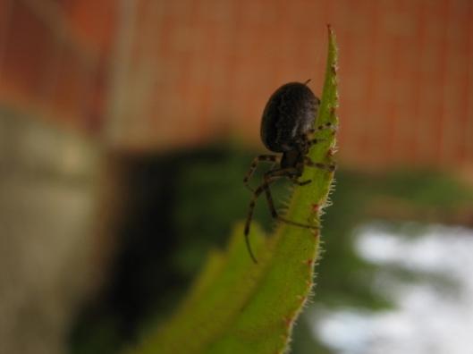 010Garden Spider (640x480)