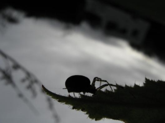 011Garden spider (640x480)