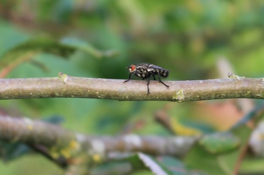 022Flesh fly (640x425)