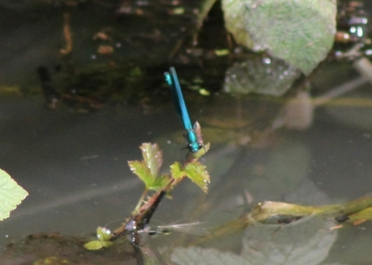 036Banded demoiselle (640x457)