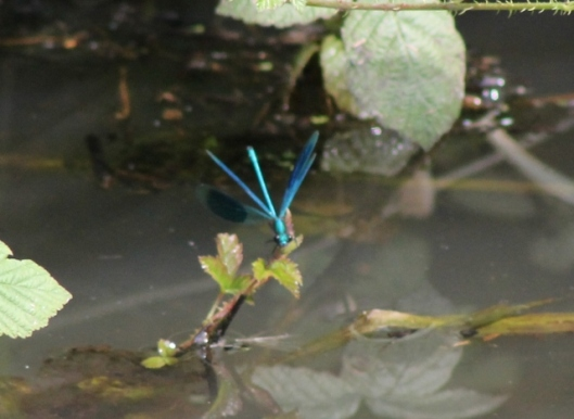 037Banded demoiselle (640x467)