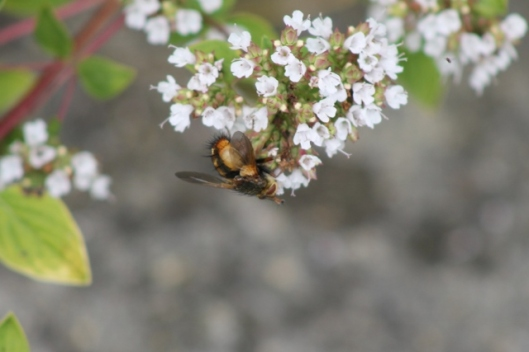 047Tachina fera on marjoram (640x427)