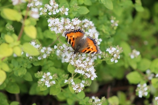 048Small tortoiseshell on marjoram (640x427)