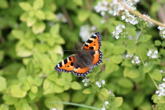 049Small tortoiseshell on marjoram (640x427)