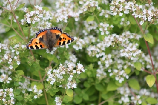 050Small tortoiseshell on marjoram (640x427)