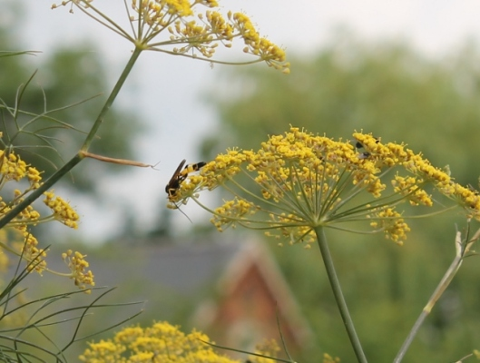 051Poss ichneumon wasp Amblyteles armatorius (640x485)