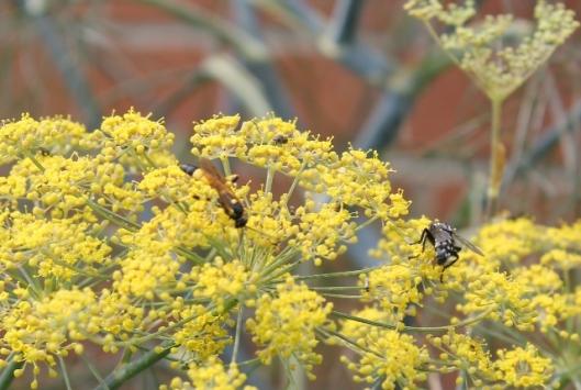 053Flesh fly and ichneumon wasp (640x430)