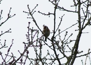 IMG_1842Goldfinch (640x424)