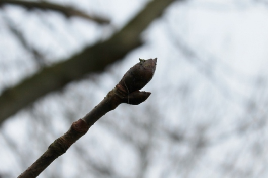 IMG_1849Horse Chestnut leaf buds (640x427)