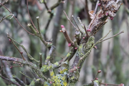 IMG_1854Buds on Blackthorn in hedge (640x427)