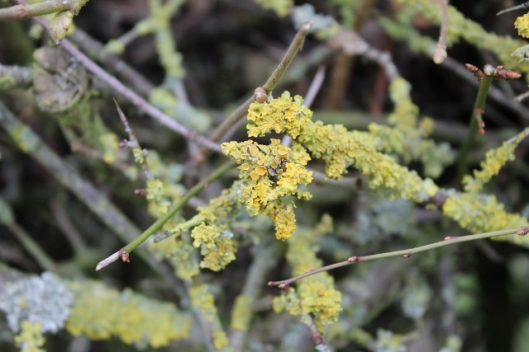 IMG_1855Lichen in the hedge (640x427)