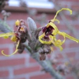 IMG_3954Witch-hazel (640x480)