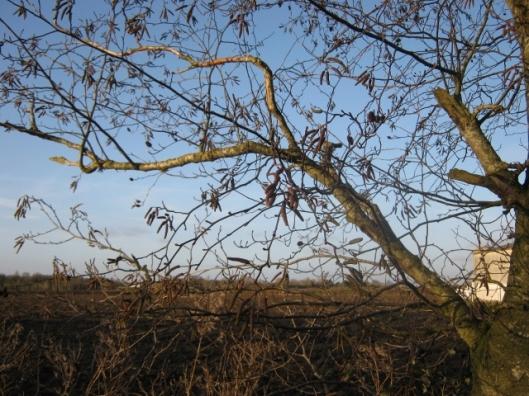 IMG_3985Italian alder tree (640x480)