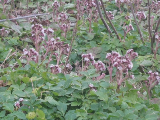 IMG_4049Winter heliotrope (640x480)