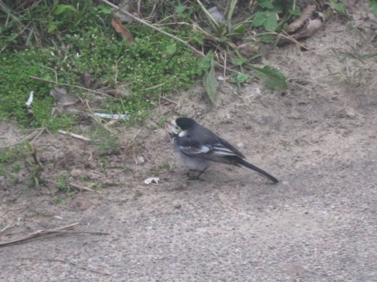 IMG_4051Pied Wagtail (640x480)