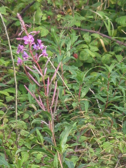003Rosebay Willowherb (480x640)