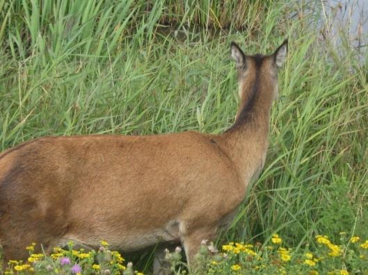006Red deer (640x480)