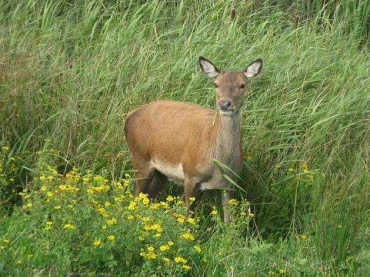 009Red deer (640x480)