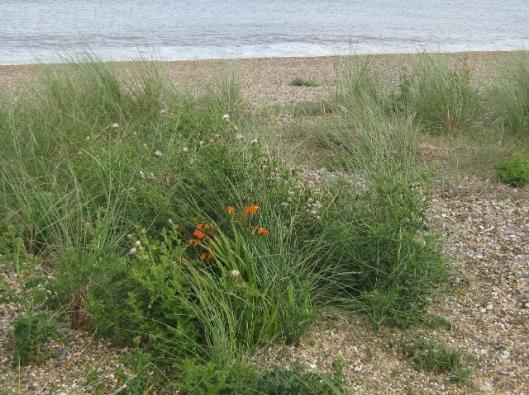 023Plants on sand dune (640x479)