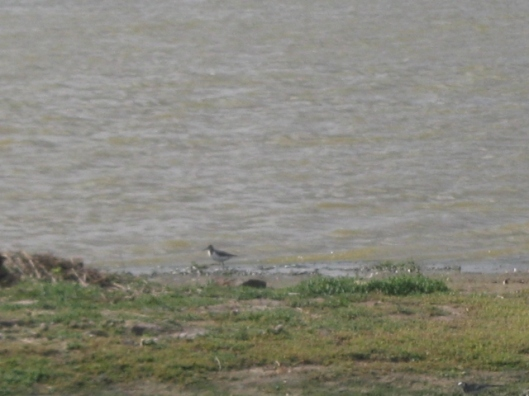 033Common Sandpiper (640x480)