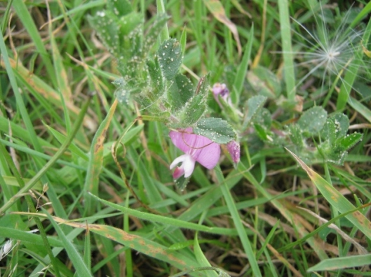 039Common Restharrow (640x480)