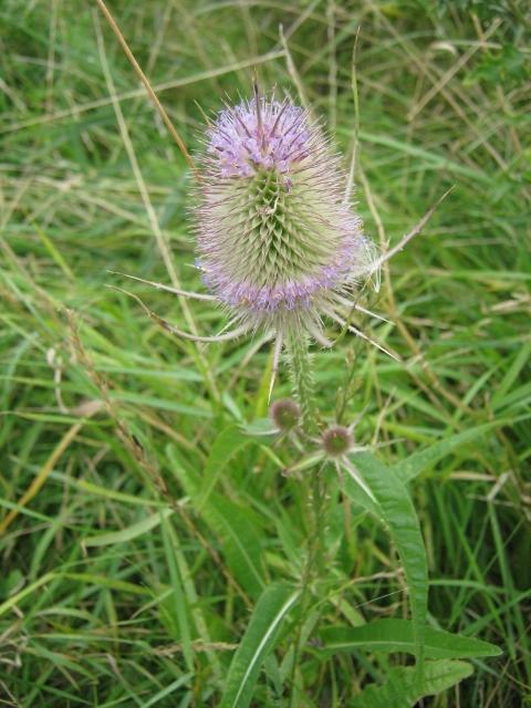 044Teasel flower (480x640)