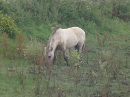 047Konik pony (640x480)