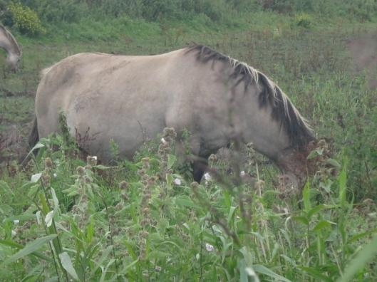 048Konik pony (640x480)
