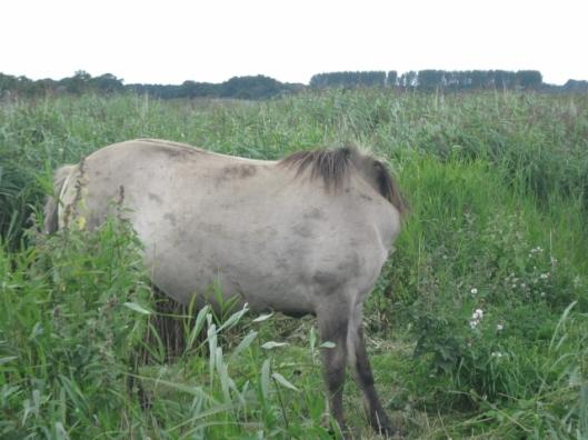 049Konik pony (640x480)