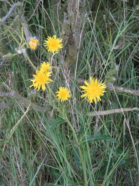 054Marsh Sow-thistle (480x640)