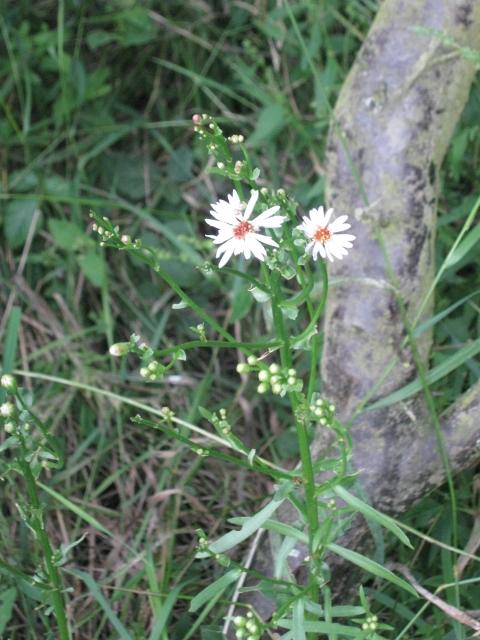 055Michaelmas daisy (480x640)