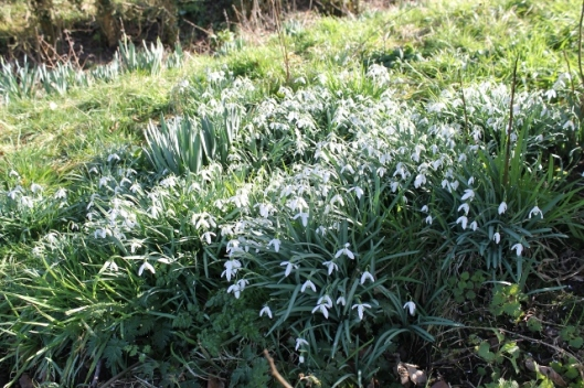 IMG_1878Snowdrops (640x427)