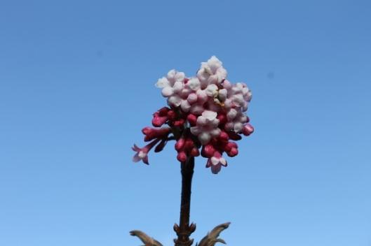 IMG_1887Viburnum flowers (640x427) (2)