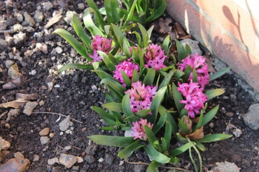 IMG_1910Pink hyacinth (640x427)