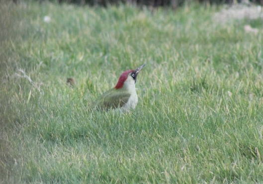 IMG_1911Green Woodpecker (640x448)