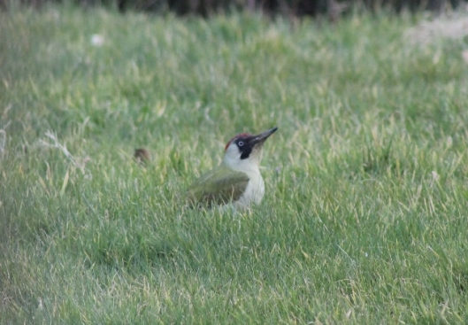 IMG_1912Green Woodpecker (640x445)