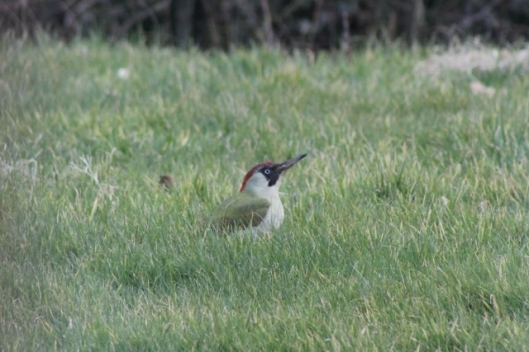 IMG_1913Green Woodpecker (640x427)