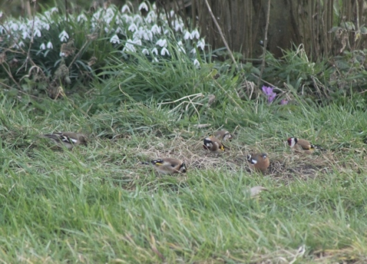 IMG_1914Chaffinches and Goldfinches (640x460)