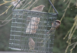 House Sparrows on fat feeder