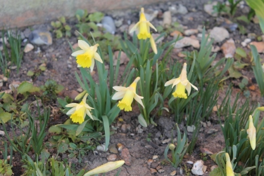 IMG_1929Miniature daffodils (640x427)