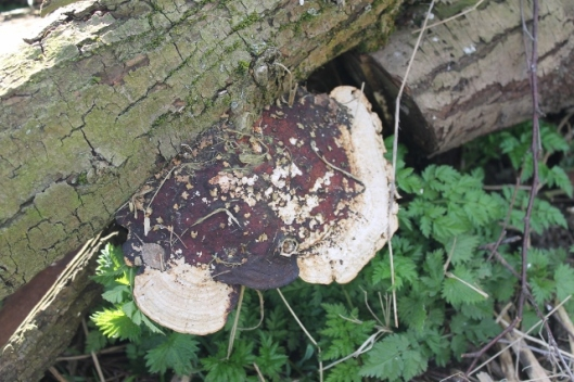 IMG_1939Bracket fungus on willow log (640x427)