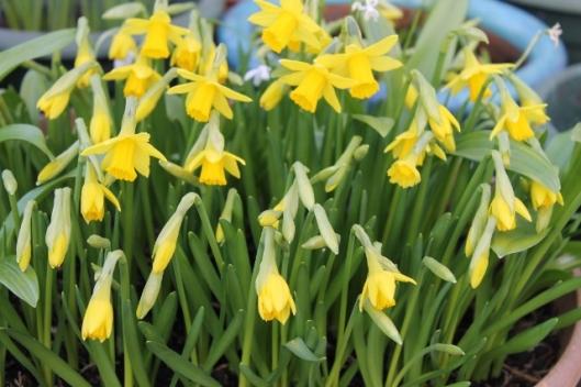 IMG_1945Tet-a-tete daffodils (640x427)