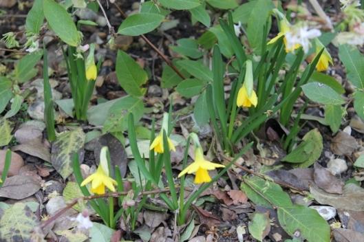 IMG_1947Miniature daffodils (640x427)