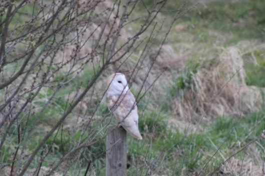IMG_1951Barn owl (2) (640x427)
